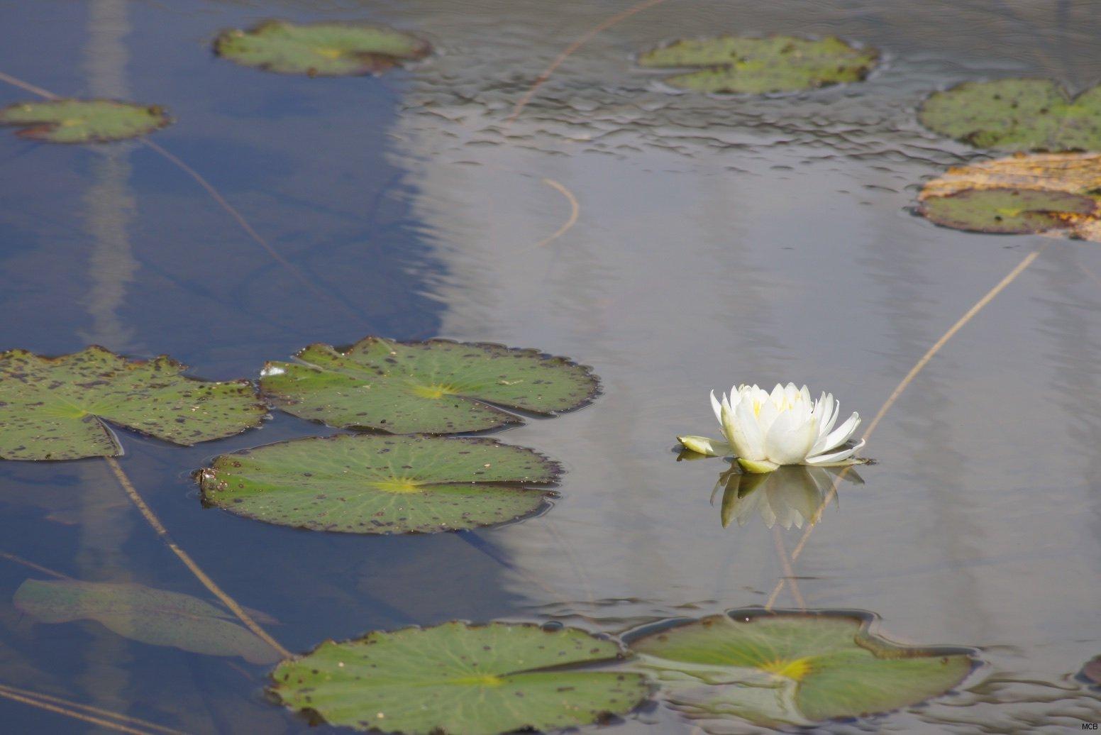 Nénuphar dans reflet