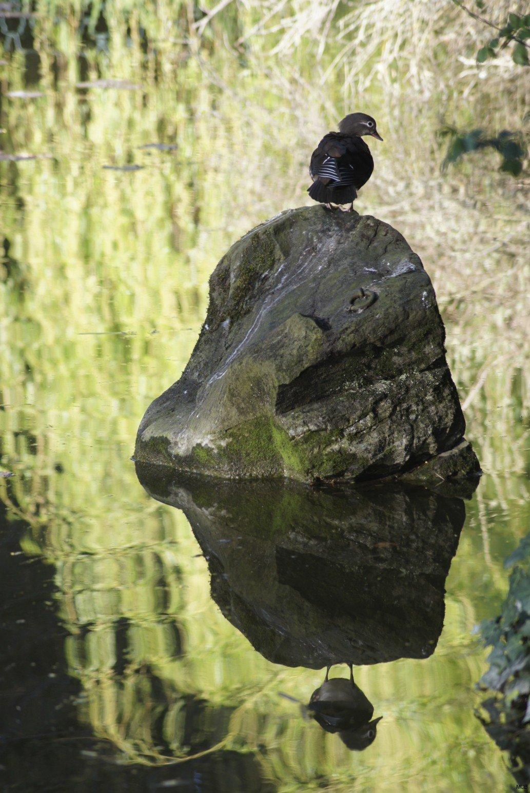 Reflet de canard dans reflets de saule