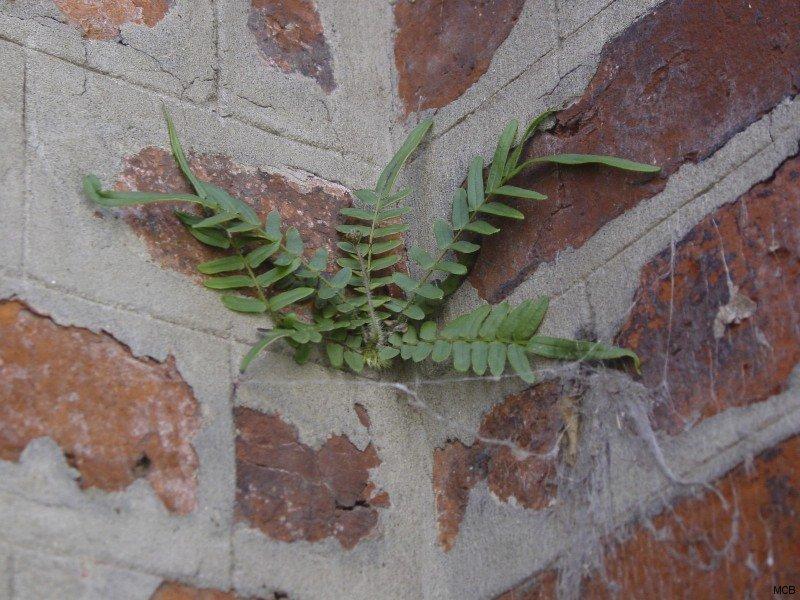 Mur en herbe