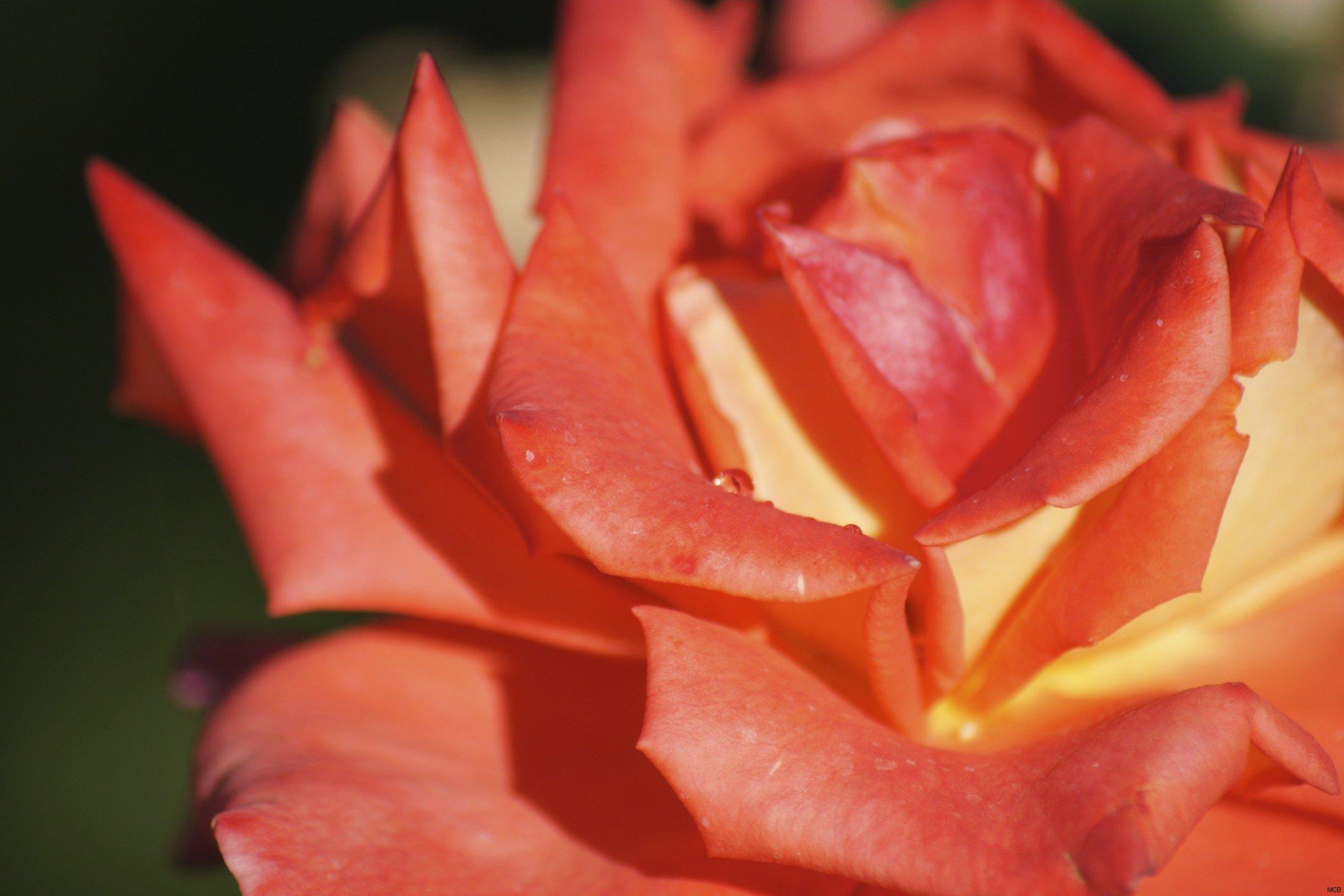 Rosée du Sud