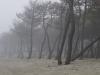 Brouillard dans pins