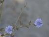 Violettes de sable