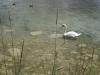Cygne du Lac de Joux