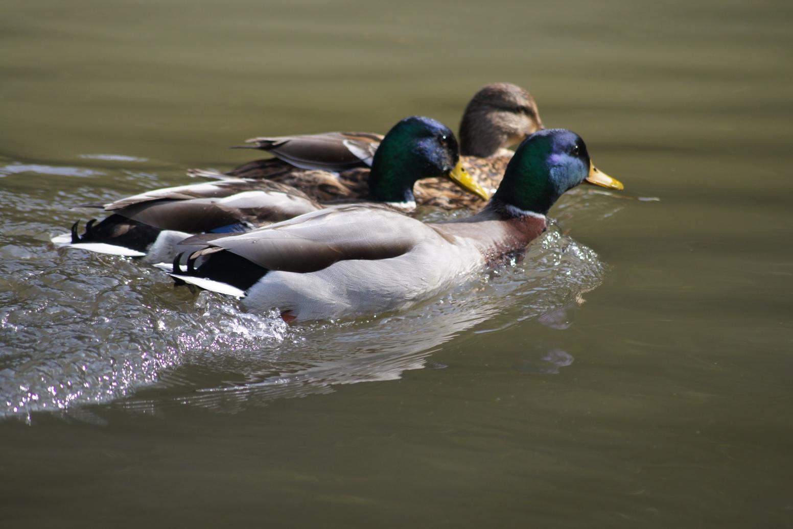 Canard en couple