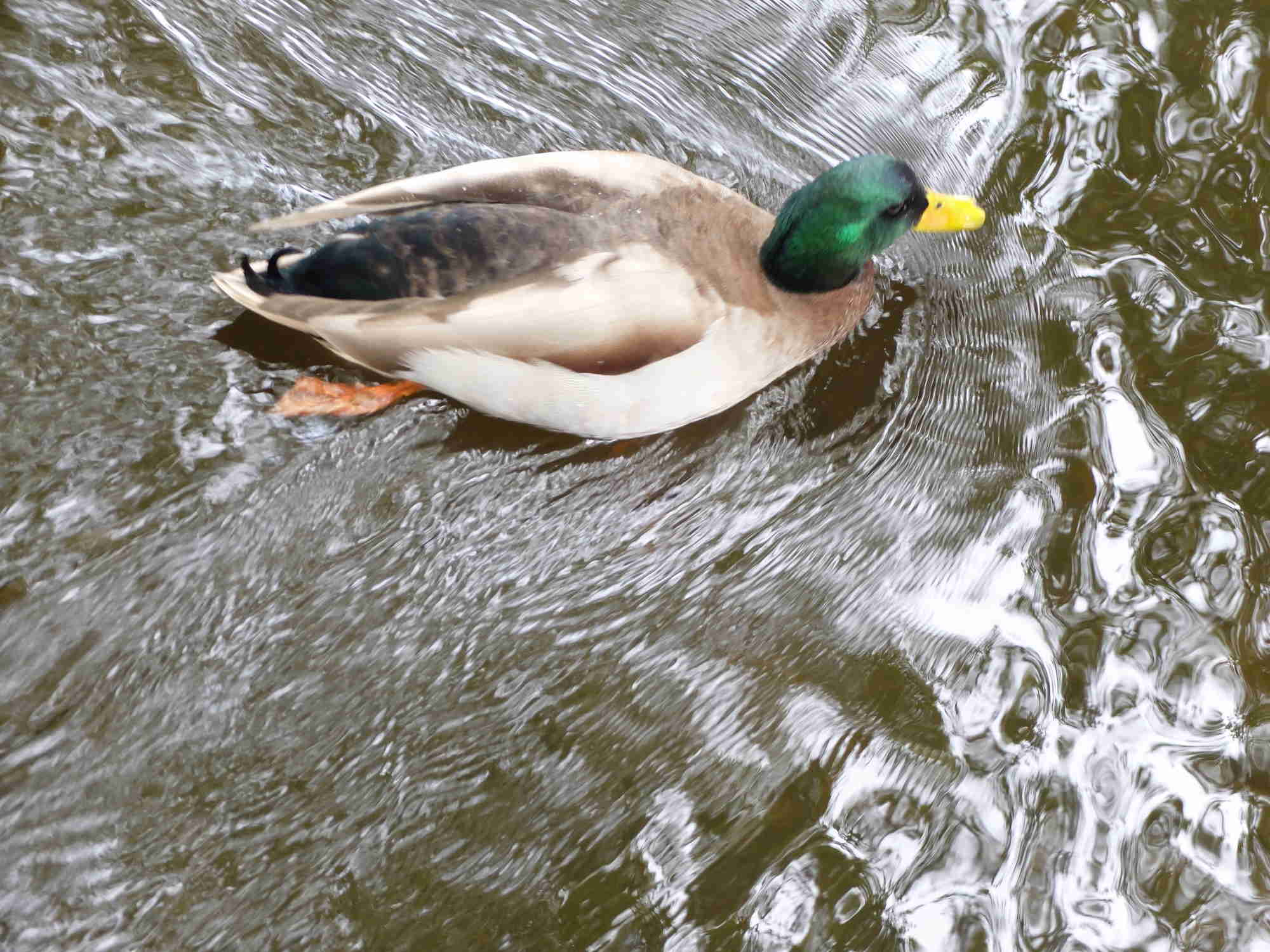Canard qui fend l'eau