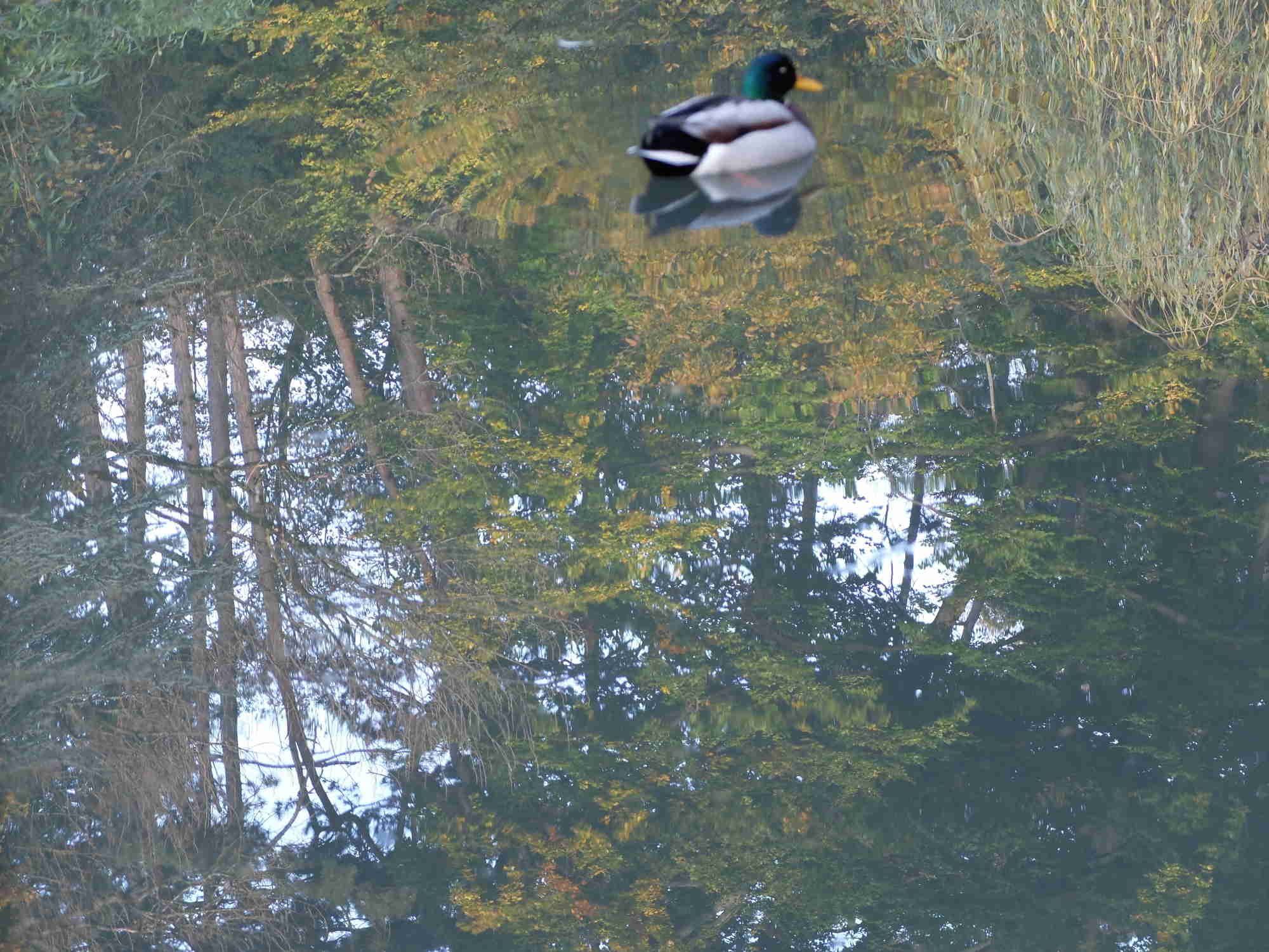 Canard dans les reflets