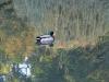 Canard perdu dans les bois