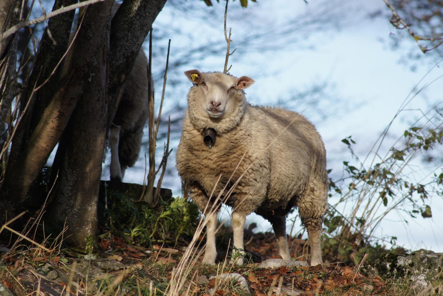 Mouton de campagne, La Chaux-de-Fonds, 16 novembre 2014