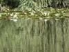 Vert aux nénuphars