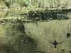 Vert aux canards